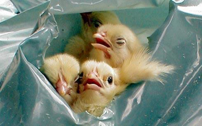 Free Range male chicks in garbage bag, about to be suffocated to death