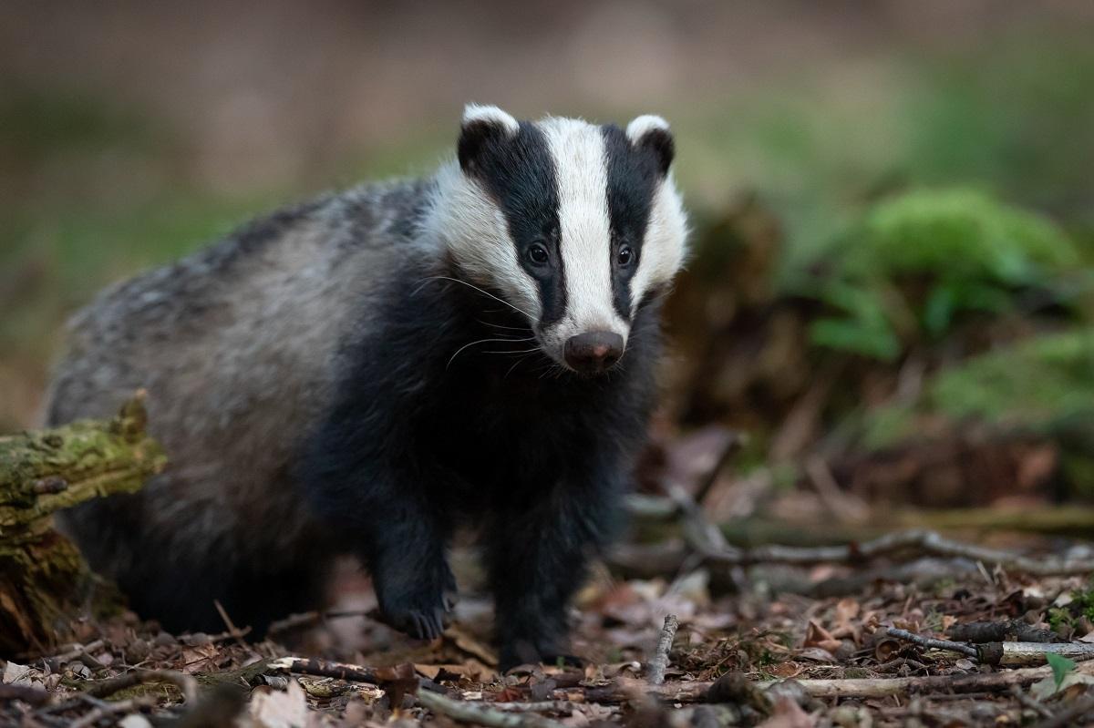 Badger cull report