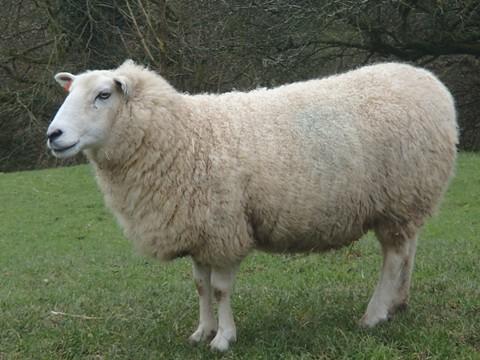 Ellie the sheep