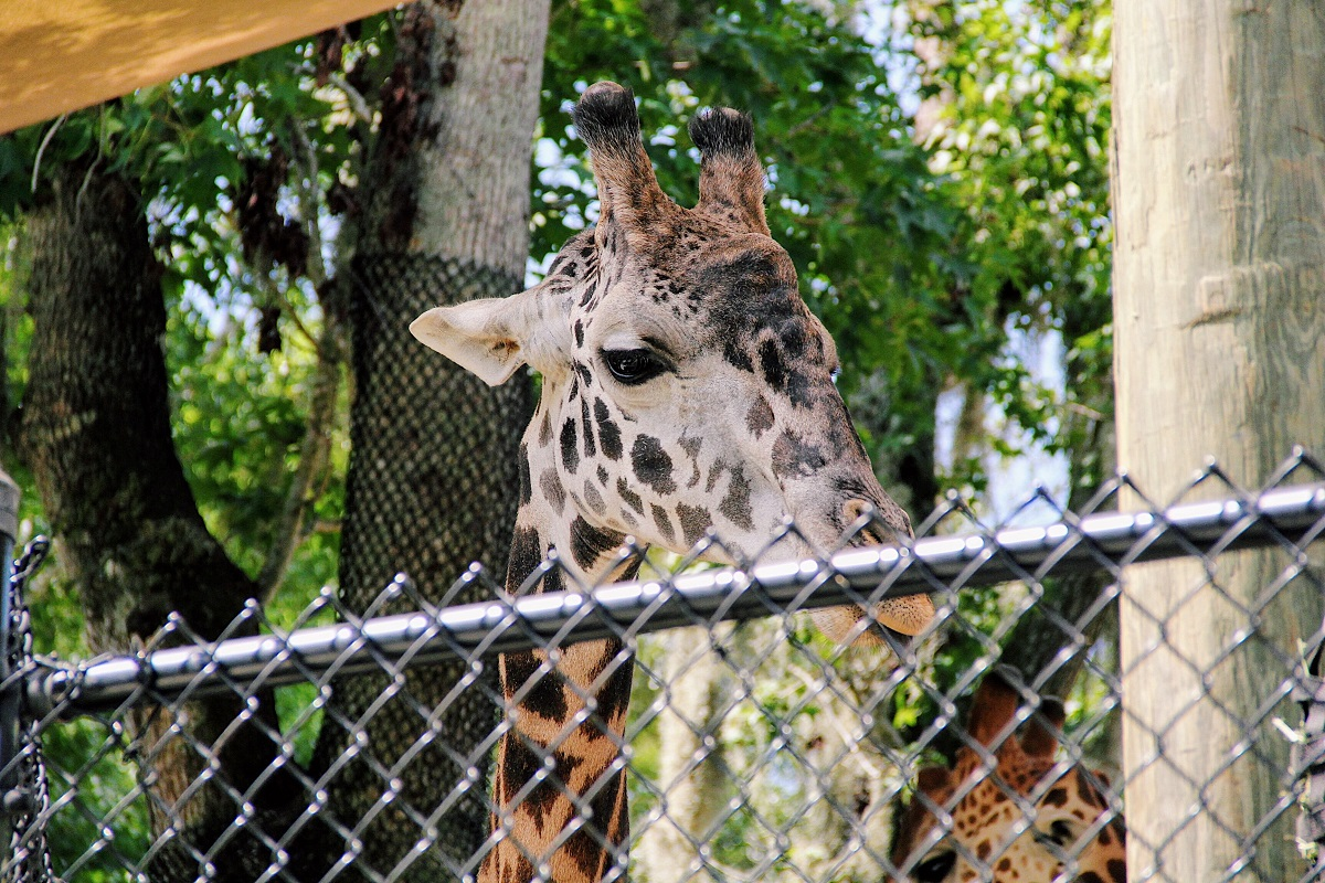 Are zoos ethical? A giraffe captive in their enclosure.