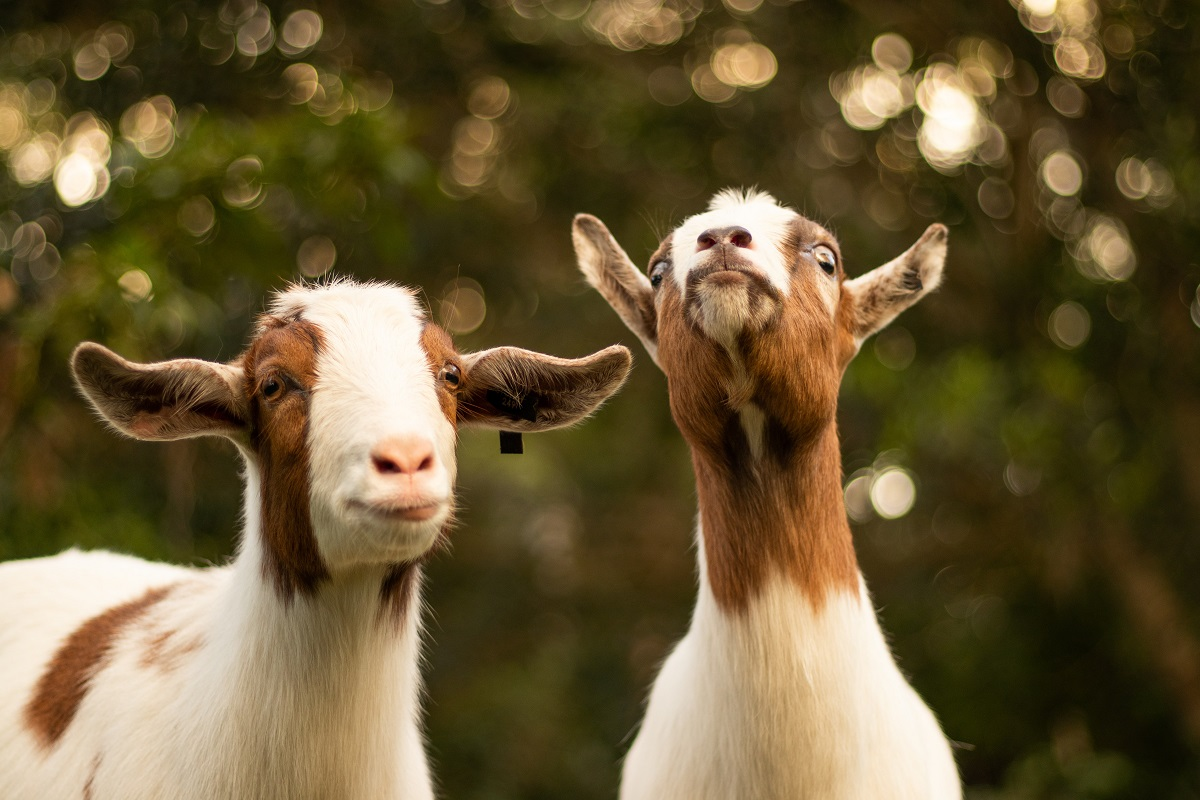 2 goats standing outside. Goat's milk is not as innocent as many people believe.